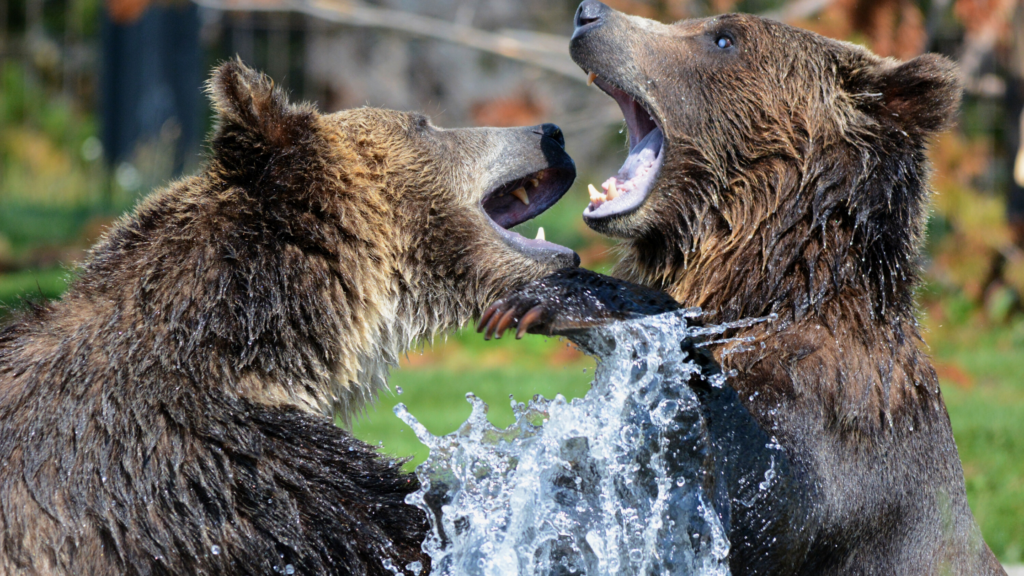 Stay happy on social media by not fighting in there. Two bears fighting in a stream.